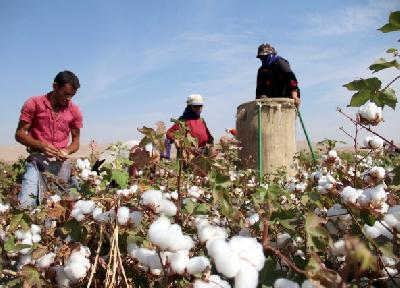 Zadovoljni uzgajivači pamuka očekuju rekordne prinose