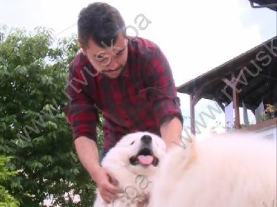 Sibirski samojed, rijetka a tražena pasmina