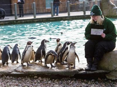 Peruanski pingvini već prebrojani u svom bazenu