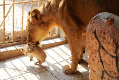 Mladunčad majka prenosi iz jednog u drugi dio kaveza, tata ravnodušan