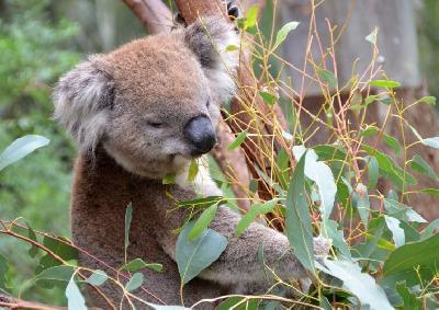 Povećava se količina soli u listu eukaliptusa kojim se hrane koale