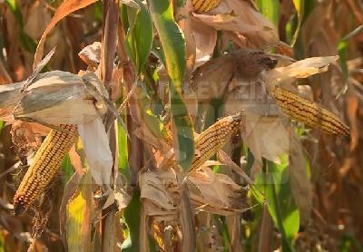 Urod kukuruza ove godine rekordan